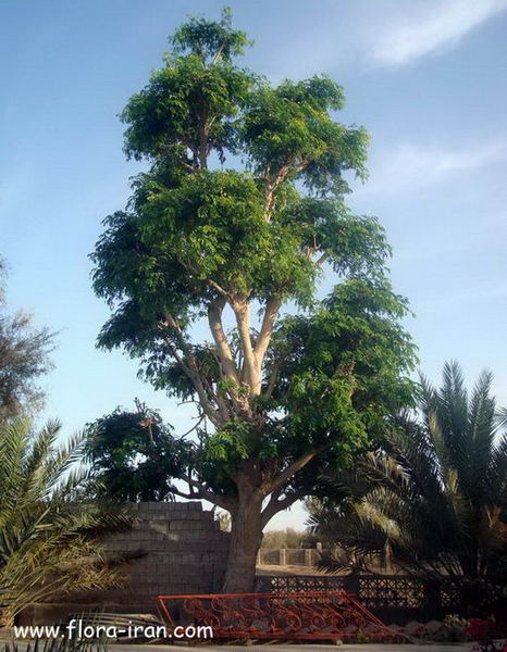 Melia indica (cultivated), Qeshm island, Persian Gulf, Iran. photo: F. Attar